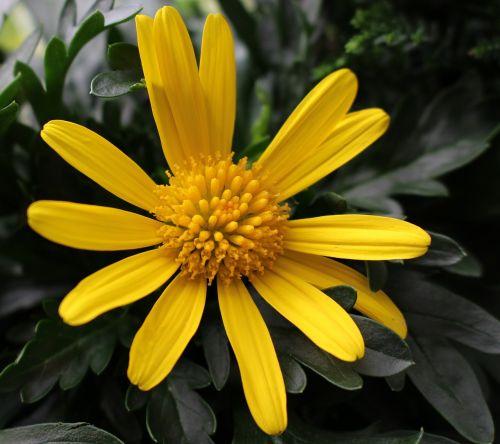 marguerite leucanthemum composites