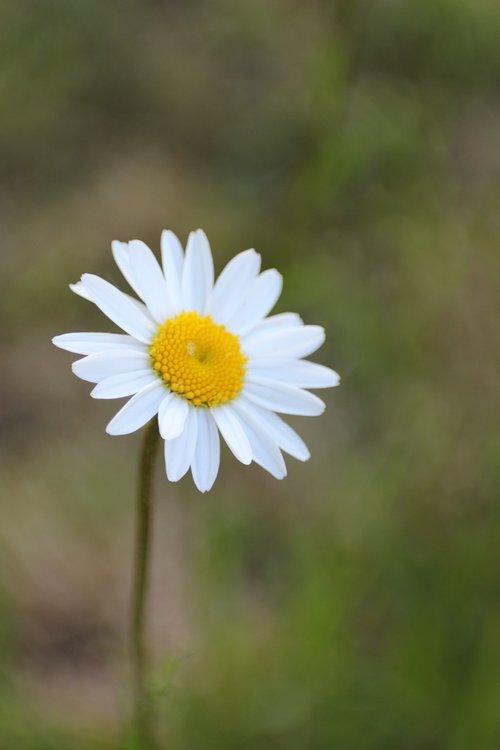 marguerite  meadow  meadow margerite