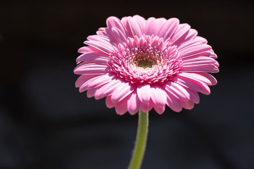 marguerite  pink  pink daisy