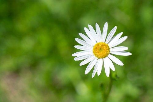 marguerite  flower  pointed flower