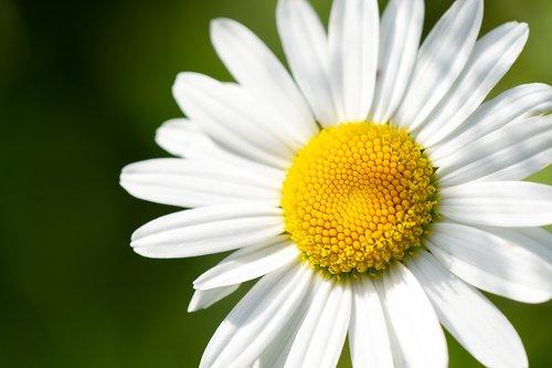 marguerite  pointed flower  white