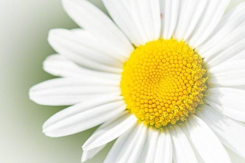 marguerite  flower  white