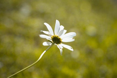 marguerite  white  flower