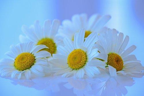 marguerite  flowers  blossom