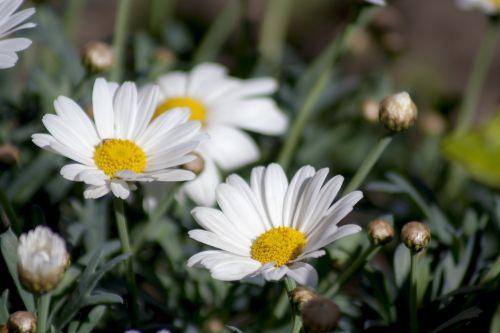 marguerite,pavasaris,gėlės,krūmas,augalas,žiedas,žydėti,balta,baltas žiedas