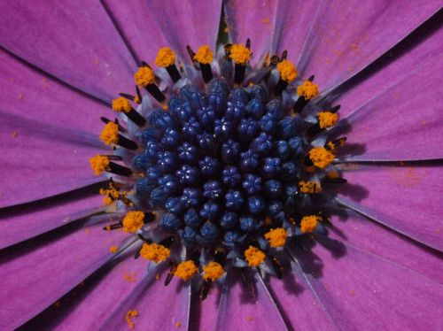 marguerite,bornholm marguerite,violetinė,žiedas,žydėti,žiedynas,tvirtas