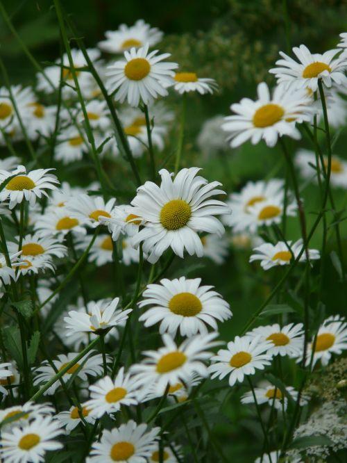 marguerite meadows margerite meadow margerite