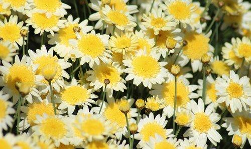 marguerite daisies  paris daisies  spring