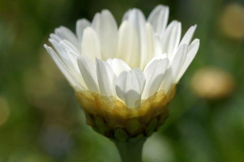 gėlė, gamta, marguerite, balta, žalias, makro, marguerite