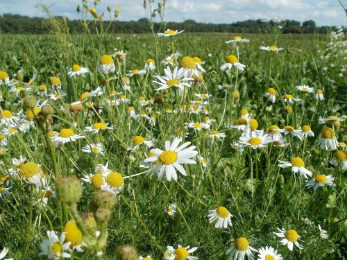 marguerites,gėlės,rozės,laukai,gamta,vasara,pavasaris,žalias,pieva,kraštovaizdis,žolė,sezonas,lauke,aplinka,žiedas,saulės šviesa,šviesus,sodas,scena,ramus,kaimas,ūkis,botanika