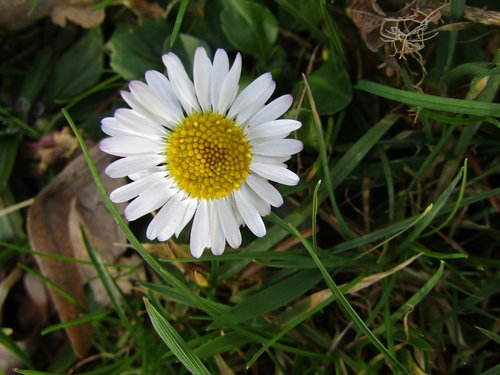marie flower  daisy  small