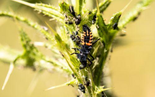 marienkäfer larva larva ladybug