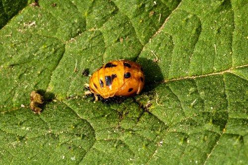 marienkäfer larva  ladybug doll  hatching ladybug