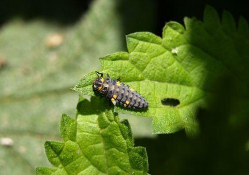 marienkäfer larva larva insect