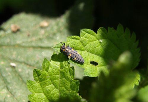 marienkäfer larva larva beetle