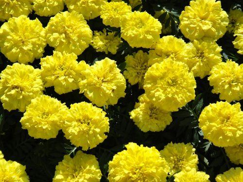 marigoldas,didelis,gėlės