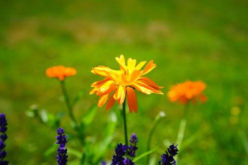 marigold flower blossom