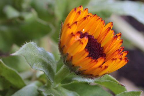 marigold calendula officinalis flower garden