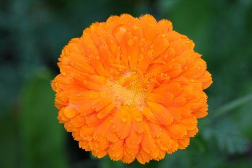 marigold calendula rainstorm