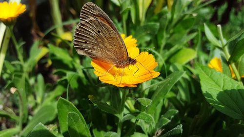 marigold butterfly calendula