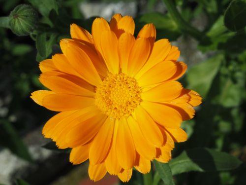 marigold orange gardening