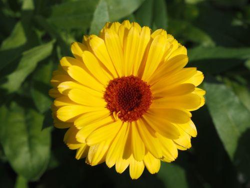 marigold yellow gardening