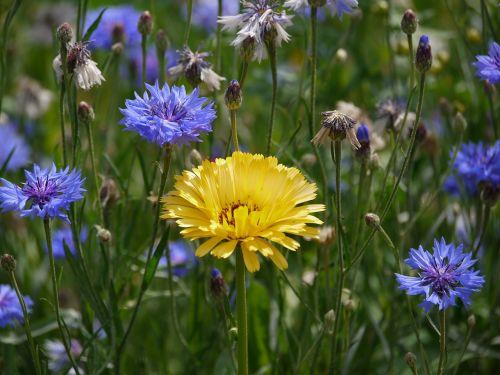 marigold cornflowers sunny