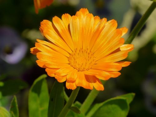 marigold flower meadow calendula