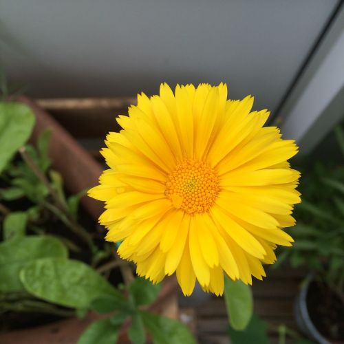calendula officinalis garden flower