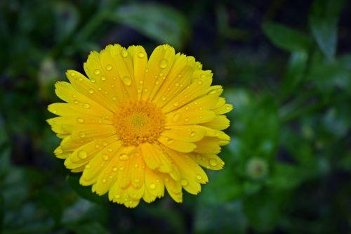 marigoldas,žiedas,žydėti,Uždaryti,gėlė,calendula officinalis,geltona,kalendoriai