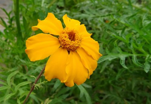 marigold flower single