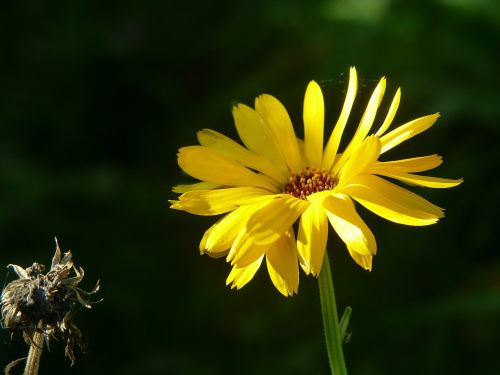 marigold calendula flower meadow