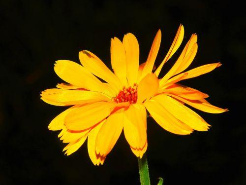 marigold calendula calendula officinalis
