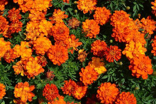 marigold irange flowerbed