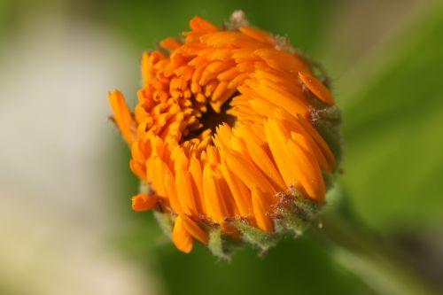 marigold orange blossom
