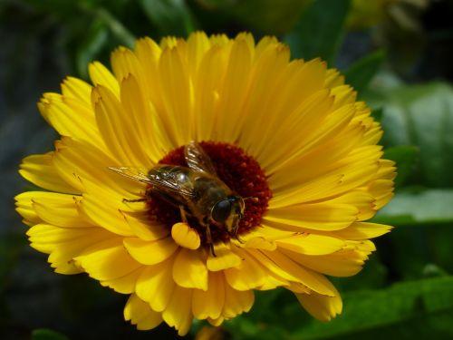 marigold yellow bee