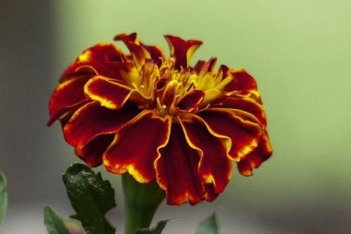 marigoldas,tagetes,oranžinė,geltona,žiedas,gamta,lauke,lauke,flora,sodas,gėlė,asteraceae,žydėti