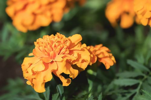 marigold orange orange tagetes