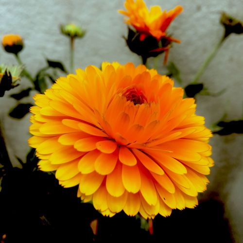 marigoldas,gėlė,geltona