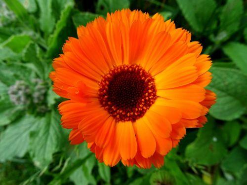marigold orange flower gardening