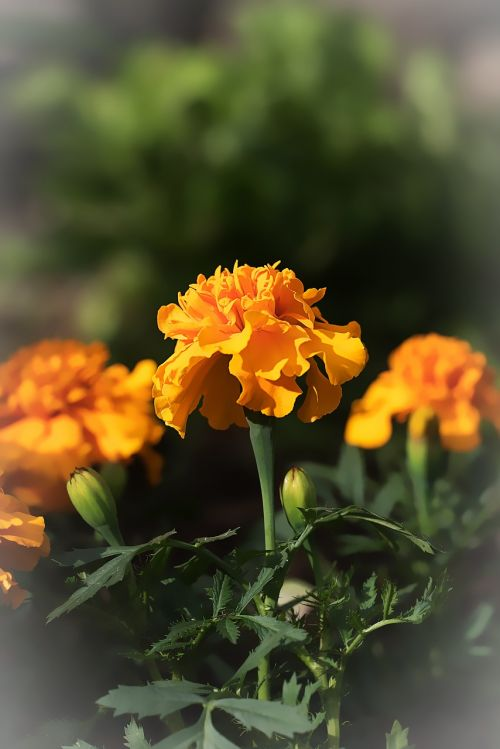 marigold marigolds turkish carnation