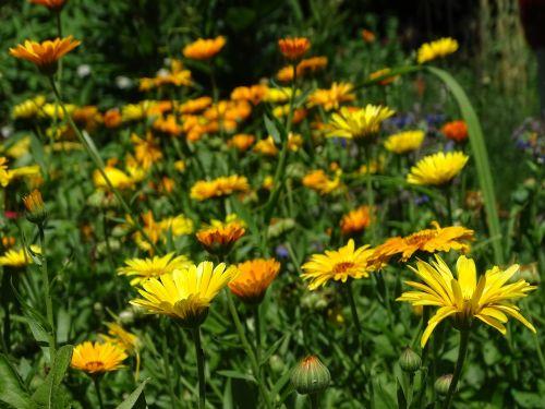 marigoldas,kalendra,sodininkystė,calendula officinalis,vaistinis augalas,vasaros gėlė,oranžinė