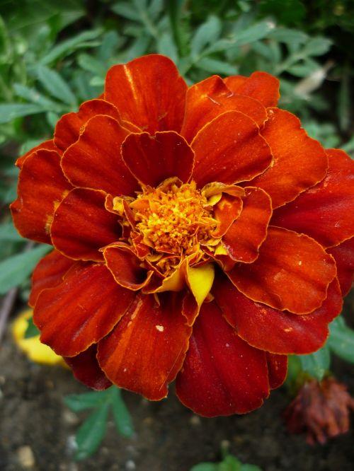 marigold culture blossom