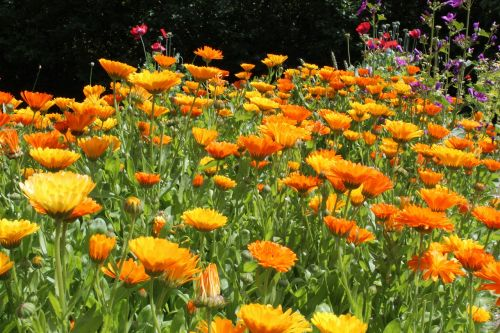 marigoldas,calendulae,vasara
