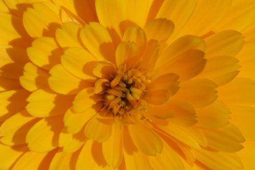 marigoldas,gėlė,geltona,calendula officinalis,vasaros gėlės