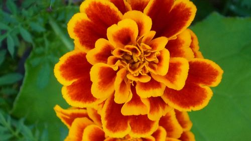 marigold magnificent flowers pattern