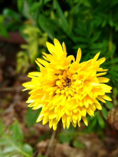 marigold flowers sri lankan