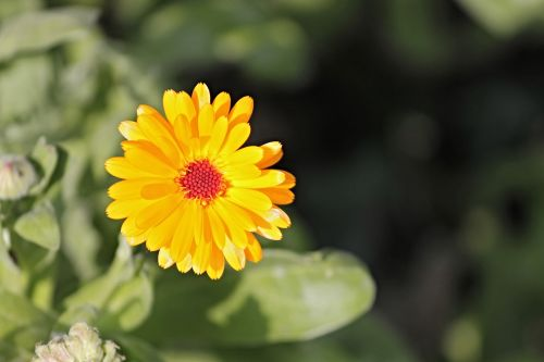 marigold calendula officinalis gardening
