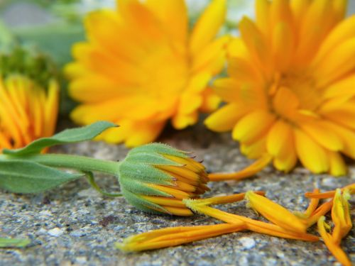 marigold calendula blossom