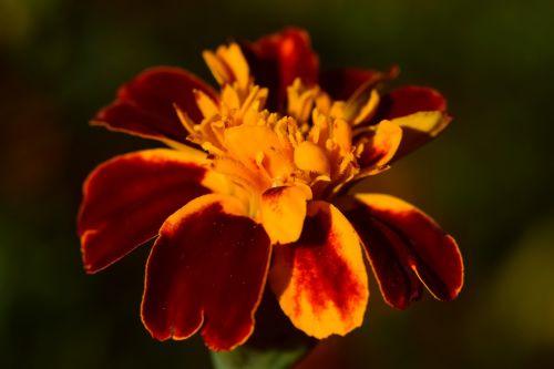 marigold close golden